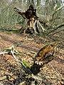 Geschädigte und umgestürzte Esche am Honigbuck im Freiburger Mooswald 2.jpg