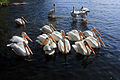 Gfp-minnesota-voyaguers-national-park-pelicans-in-the-bay.jpg