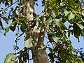 Ghatti tree (5071031620).jpg