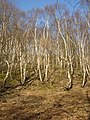 Ghostly birches, Cromwell Wood, Southowram - geograph.org.uk - 399923.jpg
