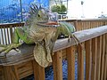 Giant Iguana in the Keys - panoramio.jpg
