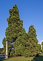 Giant Sequoia in front of British Columbia Parliament Buildings, Victoria, British Columbia 08.jpg