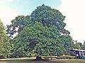 Gilwell Oak (5948293396).jpg