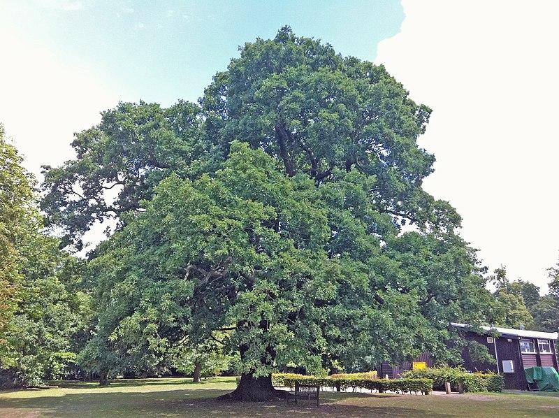 File:Gilwell Oak (5948293396).jpg