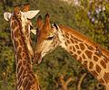 Giraffe bull and cow.jpg