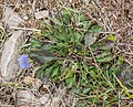 Globularia bisnagarica in Aveyron (4).jpg