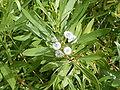 Globularia salicina (Puntallana) 04 ies.jpg