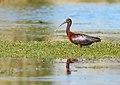 Glossy Ibis (Plegadis falcinellus) (41673291512).jpg