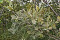 Goat Willow (Salix caprea) - Oslo, Norway 2020-09-05 (05).jpg