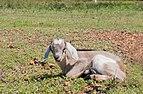 Goat baby in Margarita Island.jpg