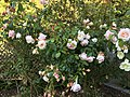 Golden Gate Park Rose Garden 9 2017-06-12.jpg