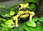 Photo d'une grenouille jaune