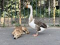 Goose and Dog 01 09 24 13 732000.jpeg