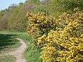 Gorse at Oak Hill, Woodford Green, London - geograph.org.uk - 1299571.jpg