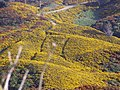 Gorse on farmland, Wellington, NZ.jpg
