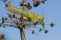Grünes Heupferd ♀ Tettigonia viridissima 3.JPG