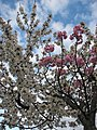 Grafted blossoming tree unidentified white pink.JPG