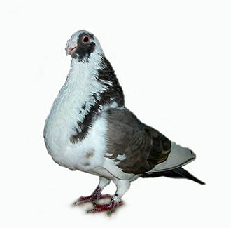 Granadino Pouter - Granadino Pouter