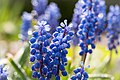 Grape Hyacinth - Flickr - Eklandet.jpg