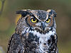 Great-horned Owl RWD at CRC1