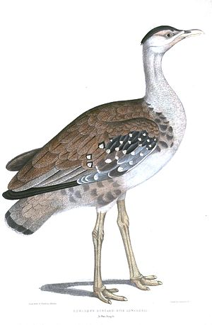 Great Indian bustard - From Thomas Hardwicke's Illustrations of Indian Zoology (1830–1835)