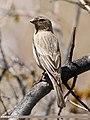 Great Rosefinch (Carpodacus rubicilla) (28336785566).jpg