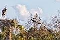 Great blue heron (32202827801).jpg