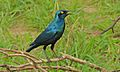 Greater Blue-eared Starling (Lamprotornis chalybaeus) (6012204802).jpg