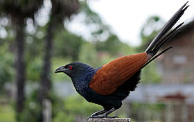 Greater Coucal or Crow Pheasant (Centropus sinensis).JPG