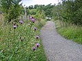 Greater Knapweed by the Tees - geograph.org.uk - 525636.jpg