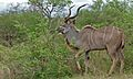Greater Kudu (Tragelaphus strepsiceros) (6001580021).jpg