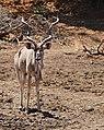 Greater Kudu (Tragelaphus strepsiceros) male coming to drink ... (50217622507).jpg