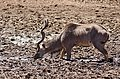 Greater Kudu (Tragelaphus strepsiceros) male drinking ... (50216820898).jpg