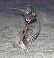 Greater Prairie Chicken (Tympanuchus cupido) fighting (13895387758).jpg
