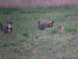 File:Greater Prairie Chicken - males displaying to a female 700.theora.ogv