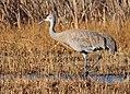 Greater Sandhill Crane Seedskadee NWR (16368369694).jpg