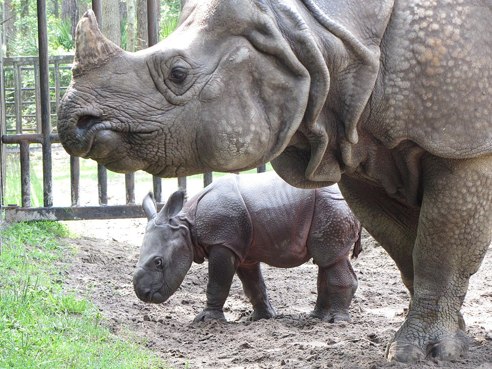 Greater one-horned rhino and baby at White Oak