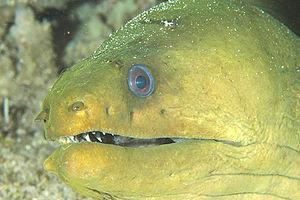 Monito Island - Image: Green Moray Eel, Monito Island, Puerto Rico
