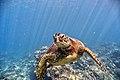 Green Sea Turtle (27140739319).jpg