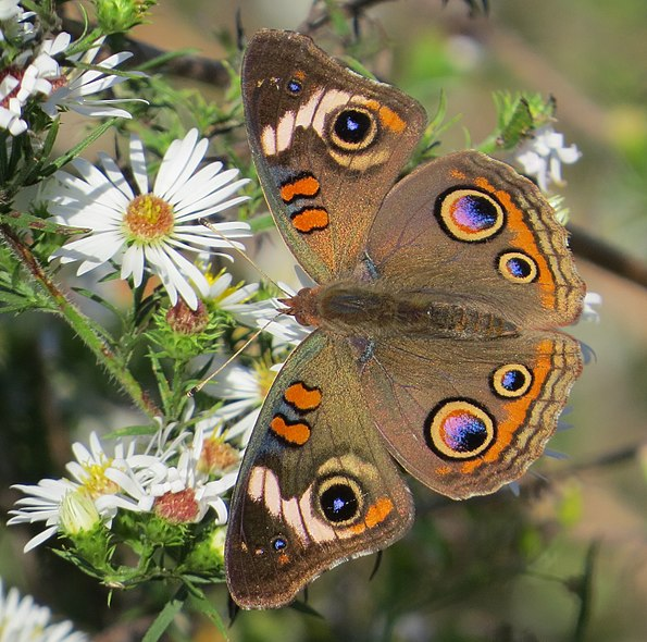 File:Greenville County Junonia coenia 01.jpg