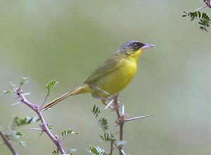 Grey-crowned Yellowthroat - cropped.jpg