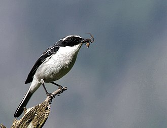 Grey bush chat - Male with the feed for juveniles at Guna Pani (8,000 ft.) in Kullu - Manali District of Himachal Pradesh, India.