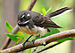 Grey Fantail - Photo (c) Benjamint444, some rights reserved (CC BY-SA)