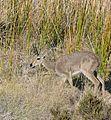 Grey Rhebok (Pelea capreolus) male (32235971973).jpg