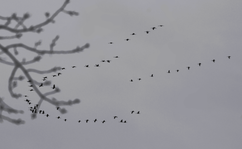 File:Grus canadensis northbound.xcf