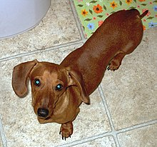 A Red Smooth Dachshund.