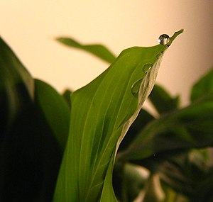 Guttation - Guttation on a prayer plant
