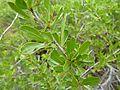 Gymnosporia buxifolia, loof en blomknoppe, a, Schanskop.jpg