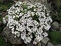 Gypsophila cerastioides 4.JPG
