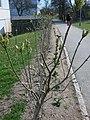 Högsbohöjd in spring (IMG 2408).jpg